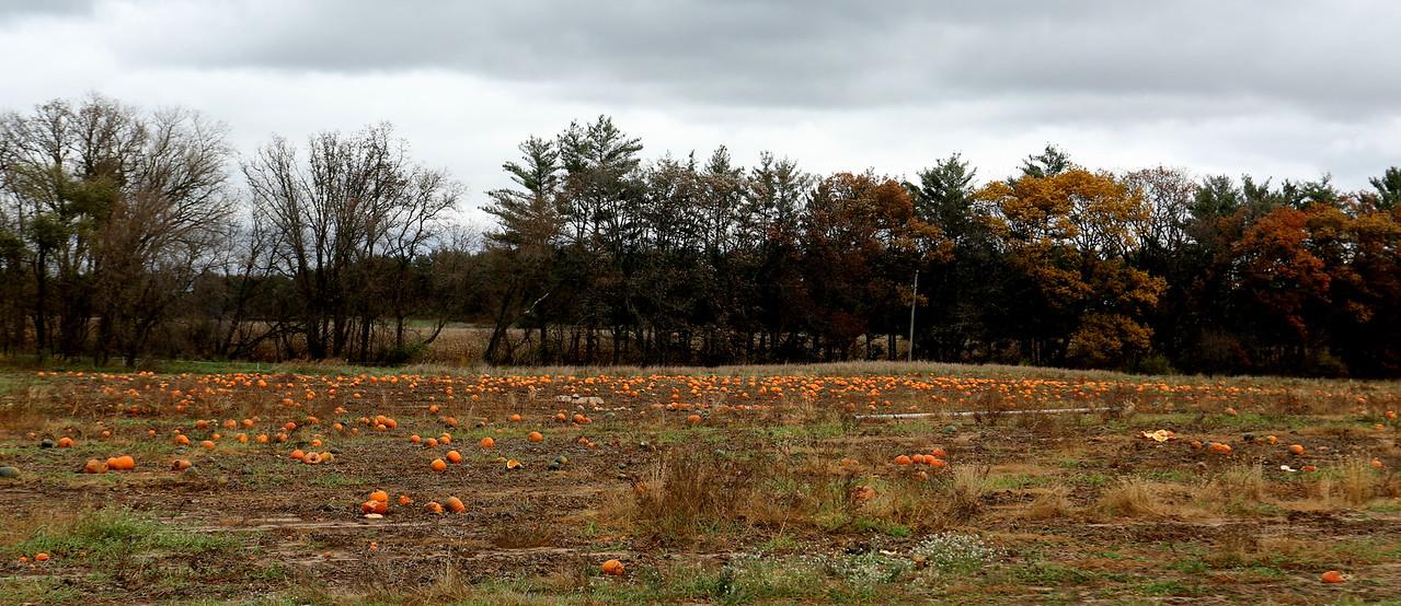 Field of pumpkins near Hartman Creek State Park