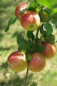 Fresh, beautiful apples in Allison's yard @ Lake Pulaski, Rusk County