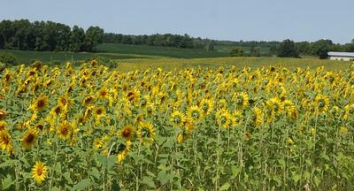Sunflowers, sunflowers,sunflowers