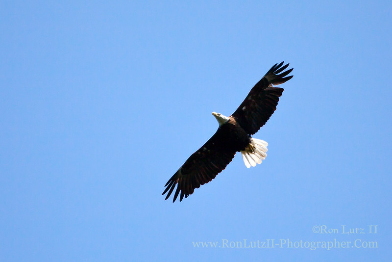 """<b><a href=""""http://en.wikipedia.org/wiki/Bald_Eagle"""" title=""""Haliaeetus leucocephalus"""">Bald Eagle</a></b> Learn more about this photo <a href=""""http://lutzr2.blogspot.com/2013/07/camping-bluffs-above-mississippi.html"""" title=""""To My Blog"""">on my Blogger Post.</a>"""