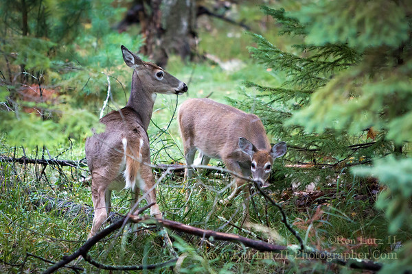 White-tailed Deer, Big, Bay, State, Park, Madeline, Island