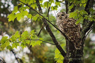 Barred Owl Learn more about this photo on my Blogger Post.  Big Bay State Park
