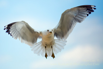 "<a href=""http://en.wikipedia.org/wiki/Ring-billed_gull"" target=""_blank"" title=""Larus delawarensis"">Ring-billed Gull</a>"