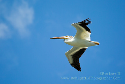 "<a href=""http://en.wikipedia.org/wiki/American_white_pelican"" target=""_blank"" title=""Pelecanus erythrorhynchos"">American White Pelican</a>"