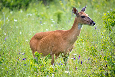 "<a href=""http://en.wikipedia.org/wiki/White-tailed_deer"" target=""_blank"" title=""Odocoileus virginianus"">White-tailed Deer</a>"