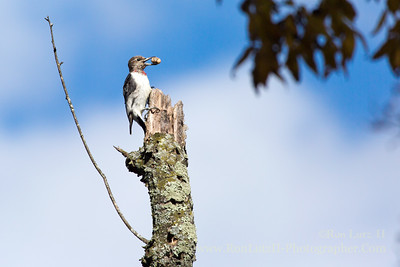Juvenile Red-headed Woodpecker