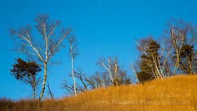 Cedars Line the Ridge