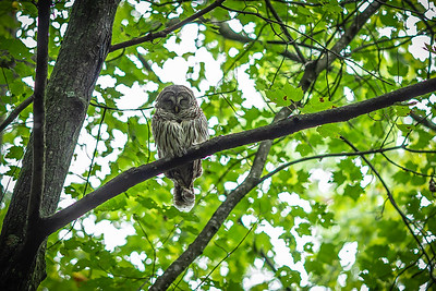 A Napping Hoot Owl