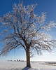 Ice Covered Oak