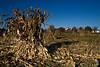 Fall Harvest Corn Stalks, Door County Wisconsin