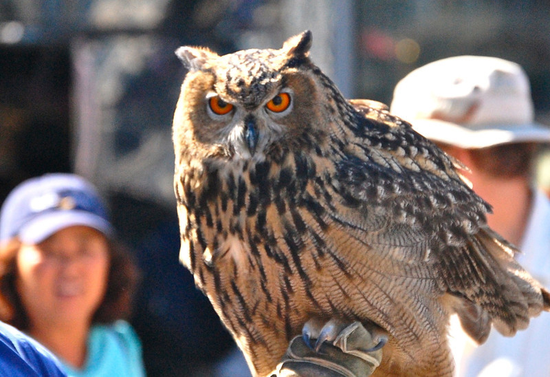 They said this was one of the types of owls used in the Harry Potter movies. Can't remember the name, though.