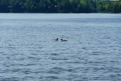 Loons On Wollaston Lake