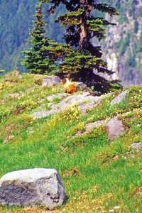 Marmot on Emerald Ridge