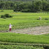 Rice Fields near Hoi An