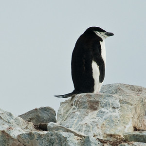 """We saw four different varieties of penguins on our trip. The least frequent was the """"chinstrap"""" penguin. These were the loudest of the penguins we saw."""