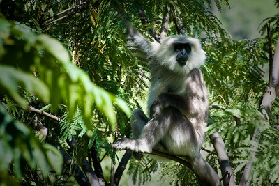 ... encountering wildlife - in this case the Grey Langur monkey ...