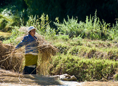 "I mentioned earlier that red rice was ""the"" Bhutanese cash crop. Here a farm family harvests the red rice. It seems to be a multi-step process. First the rice is cut down.  Next, the rice is picked up and ""arranged"" so it can be piled into giant ""rice stacks."""
