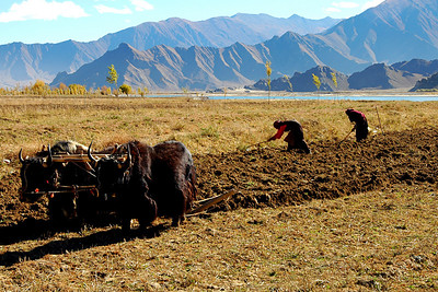 In this photo, there are a couple of Yaks pulling a plow. We pull to the side of the road, get out of our vehicle and using our best tourist manners ask to take pictures. Realize we speak zero words of Tibetan. The farmer speaks zero words of English. Yet as we hold our cameras, he gets the notion, smiles and invites us to photograph away.  Before our stay is over, we will have eaten Yak for breakfast, Yak for lunch, Yak for dinner. We will drink Yak butter tea. We will visit temples lit by Yak butter lamps. Before we are through here, I'll be humming the old Coasters' song: Yackety Yack (don't talk back).