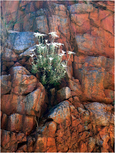 Along the sides of the chasm, nooks and crannies collect what little rain falls and provide a habitat for Flannel Flowers. They are pretty high up the chasm walls presumably because anything lower has been scrubbed clean by wild water when it does rain.