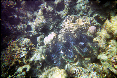 The second day dawned clear and calm. Our 1st (of 2) tank dive was at Cod Hole. Named because of the large (6 foot) cod that frequent the place. A deeper dive this time, 50 feet, because that's where the fish were. The photo to the left is another Giant Clam. I told you Sea Hunt made a big impression.