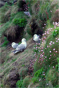 The area is home to lots of species of sea birds; Gulls, Puffins, Eagles, Hawks and many many more are native.