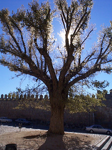 This tree stands in the courtyard in front of the Monastery of the Incarnation.