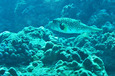 Diving: Some variety of a Puffer Fish.