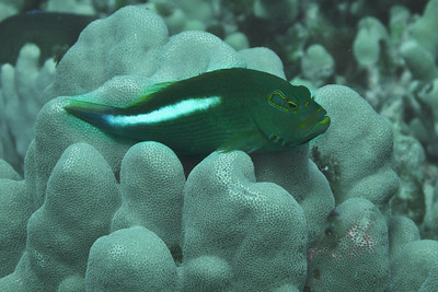 Diving: A reef fish of some variety, don't know the name.