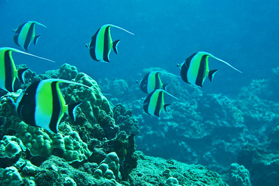 Snorkeling: Because we are very close to the surface, most of these Angel Fish retain their true colors.