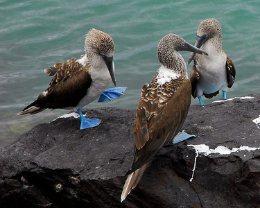 """All the birdlife here is spectacular. But the species with the best PR department is the Blue Footed Boobie. You can buy T-Shirts, caps and such with the """"I Love Boobies"""" tag line and 2 strategically placed blue web feet.  Unfortunate name aside, these are pretty neat birds. I loved watching them dive full sped into the water hunting for food. As they start their dive, their wings fold backwards behind them and they hit the water like a torpedo dropped from a plane. They will then shoot 5, 10, 15 feet deep or more to their prey, grab it and swallow it before they get back to the surface. I could watch these guys for hours."""