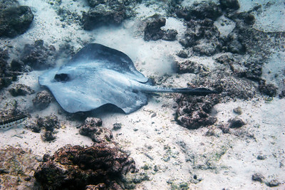 """The marine animals I liked best were the rays we saw. This Diamond Ray was in about 10 feet of water quite near a steep shore. The """"wingspan"""" was maybe 2-3 feet."""
