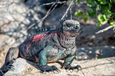 Ecuador - Galapagos Islands  - Marine Iguana