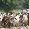 India Cattle Drive