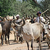 Indian cattle drive
