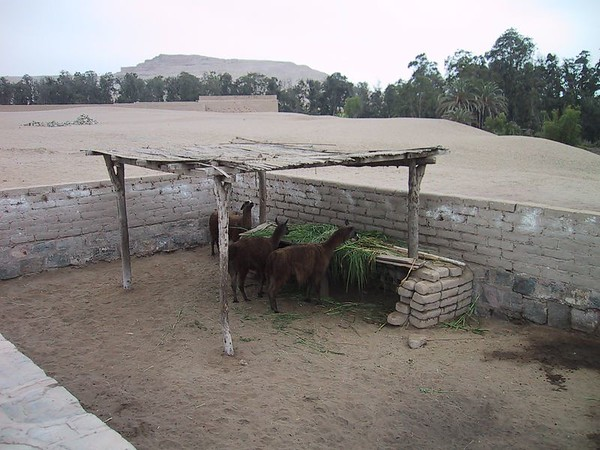 D0482   Llamas at Pachacamac ruins outside of Lima.