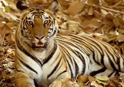 Tigress rests in the shade in Bandhavgarh National Park, India