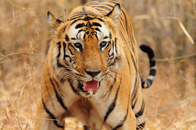 """B2"" the dominant male tiger at Bandhavgarh National Park, India"