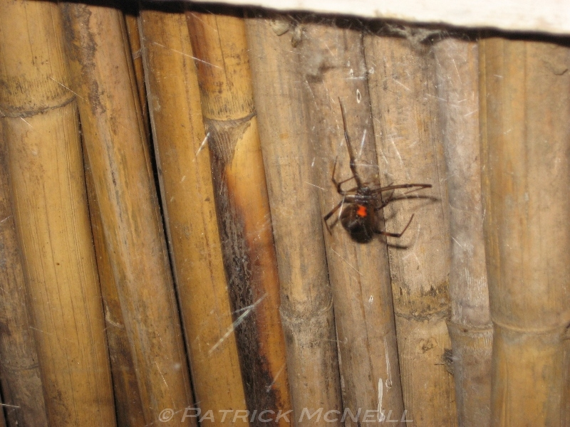 A black widow on the wall right behind us at dinner, maybe a foot and a half away, Madagascar