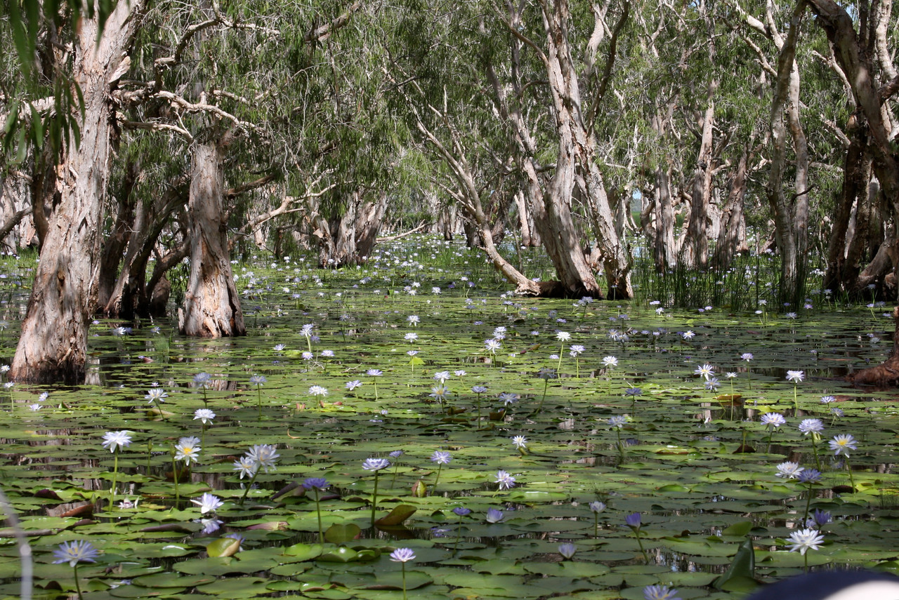 water lilies and paper bark trees