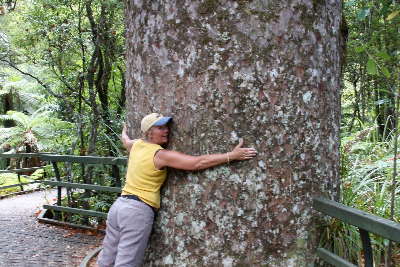 kauri tree hugger