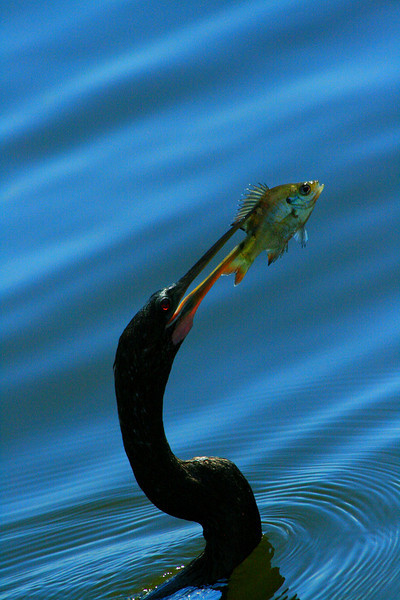 Anhinga and a Fish - Florida