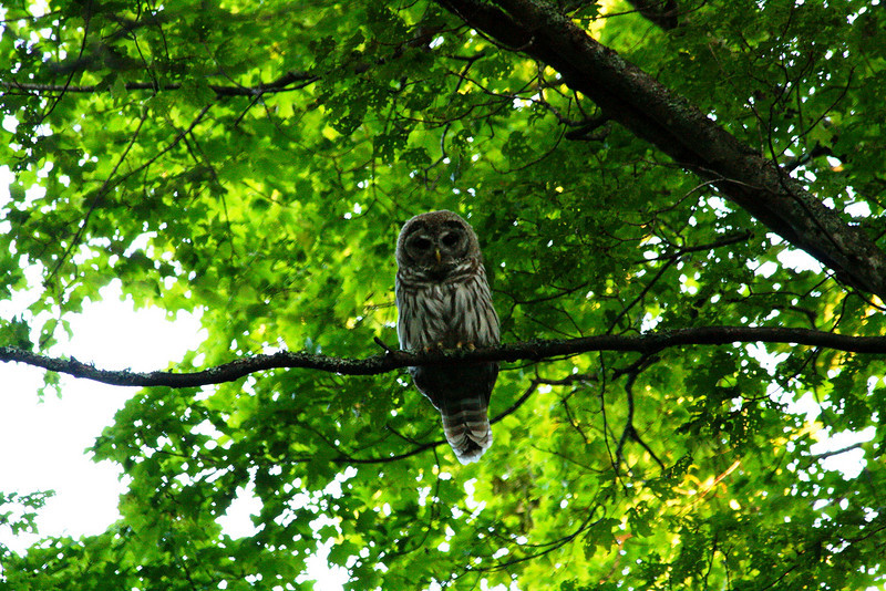 Speckled Owl - Wisconsin