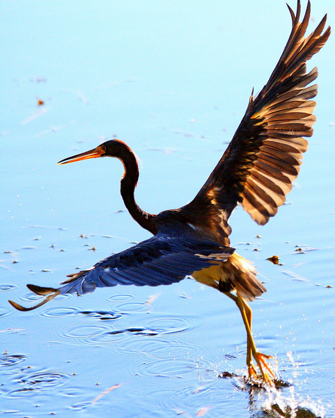 Tri-colored Heron - Florida