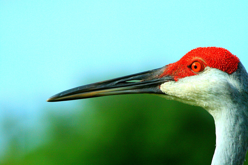 Sandhill Crane Close Up - Florida