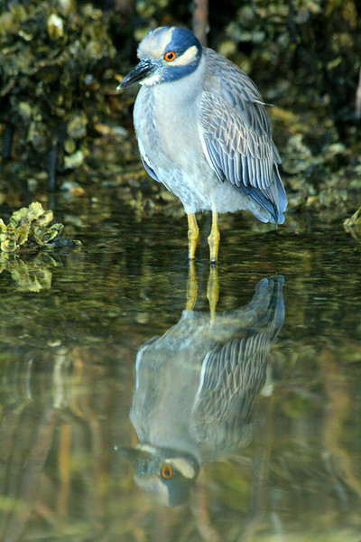 Yellow Crowned Night Heron - Florida