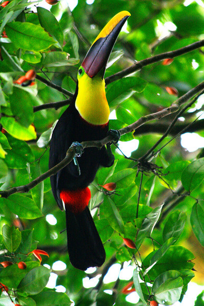 Black Mandibled Toucan - Costa Rica