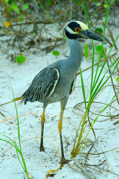 Yellow-crowned Night Heron - Florida