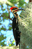 Pileated Woodpecker - Florida