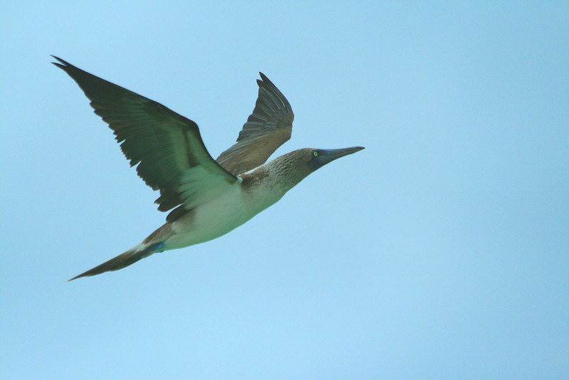 Blue-footed Booby - North Seymour, Galapagos