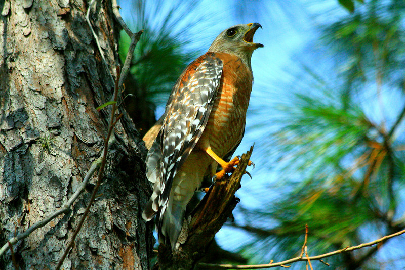 Red-shouldered Hawk - Florida